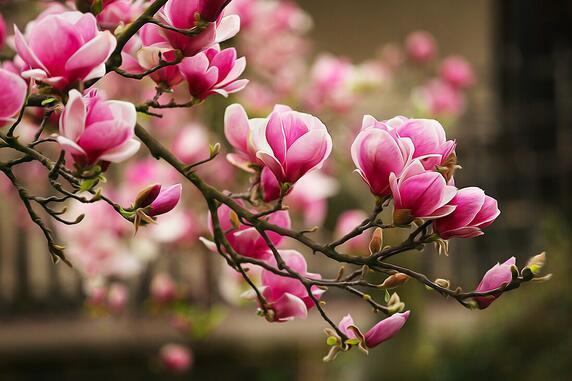 Magnolia och dess sjukdomar