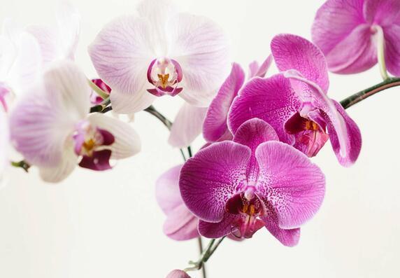 Orchidee und ihre krankheiten