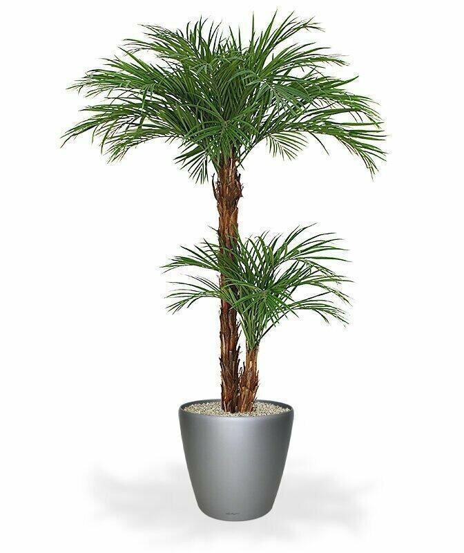 Palma Areca vo veľkosti 225 centimetrov.