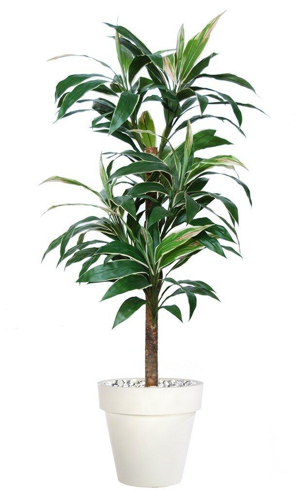 Umělý strom Cordyline Exotica (180cm)