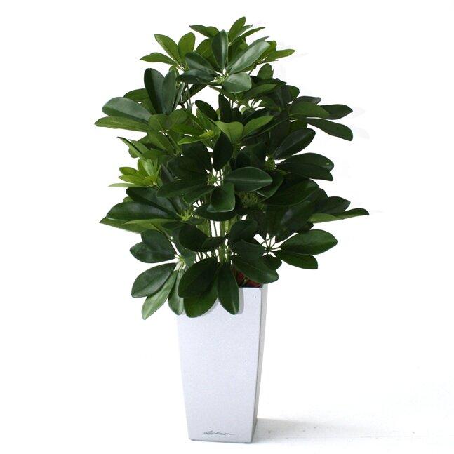 Umelá rastlina Schefflera 50 cm