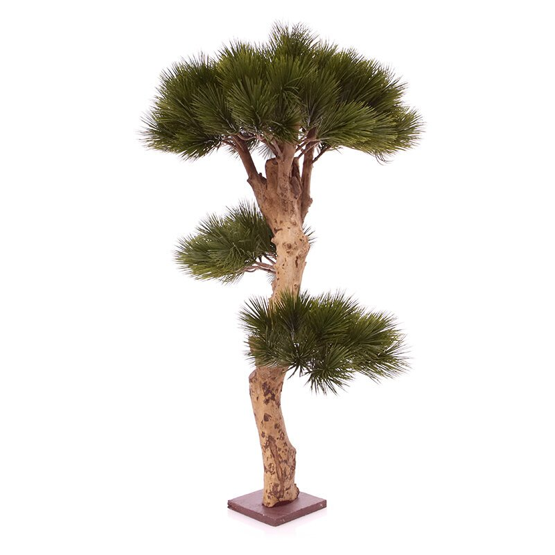 Nádherný Bonsai Pinus 85 cm