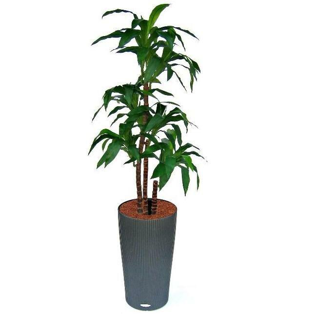Umělá rostlina Draceana fragrans 125 cm