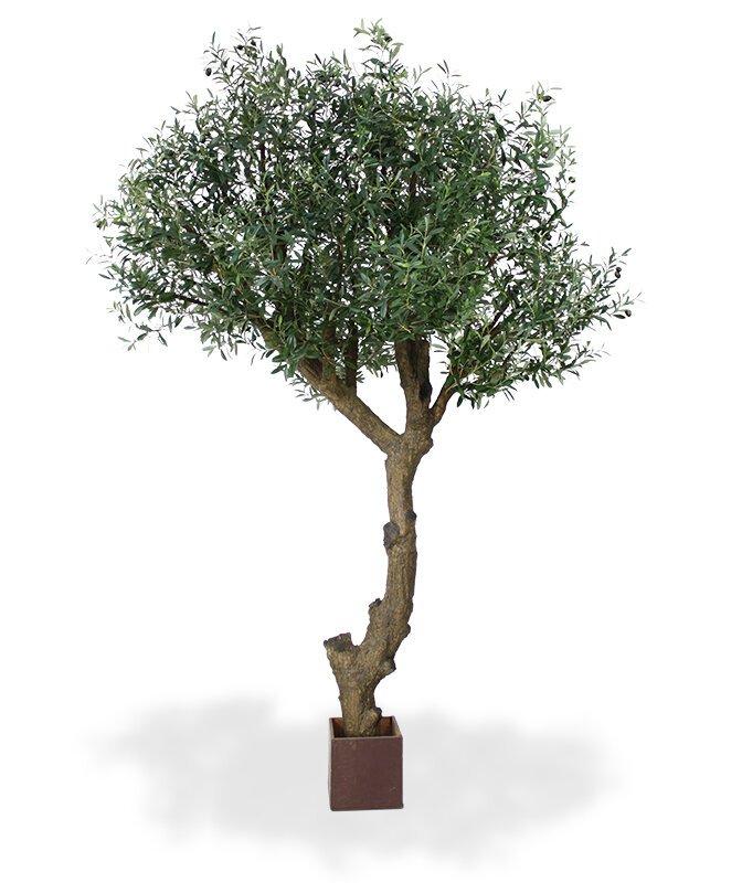 Mohutný Olivovník 275 cm