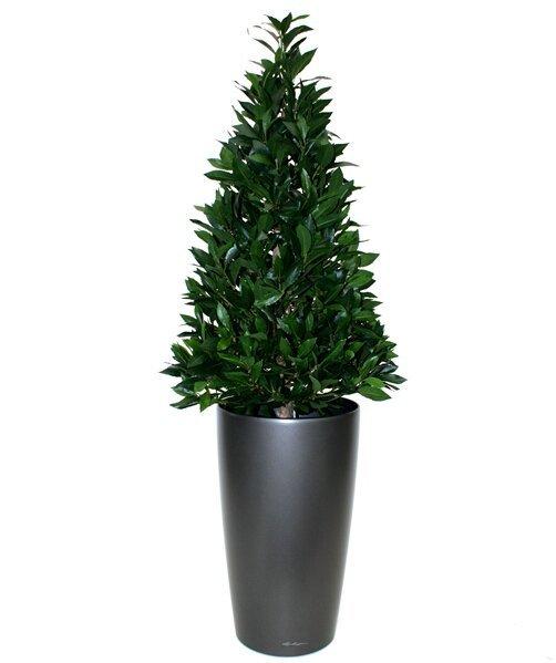 Umelý strom Vavrín pravý 115 cm