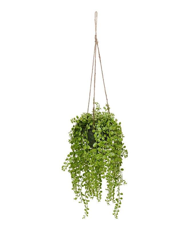 Závěsná rostlina Dischidia 40 cm v závěsném koši
