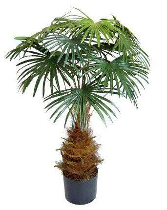 Umělá palma Vějířovitá 100 cm