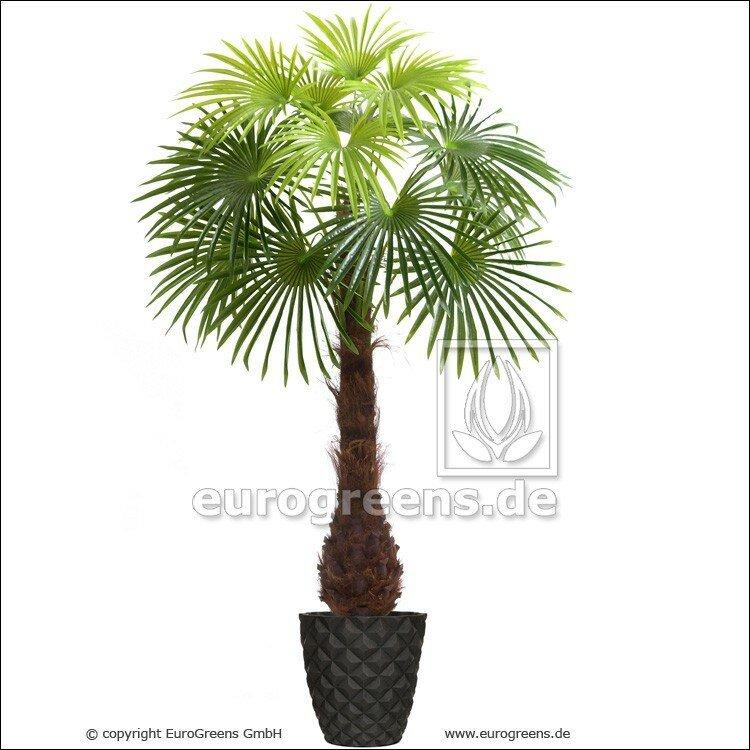 Umělá palma vějířovité listy 220 cm