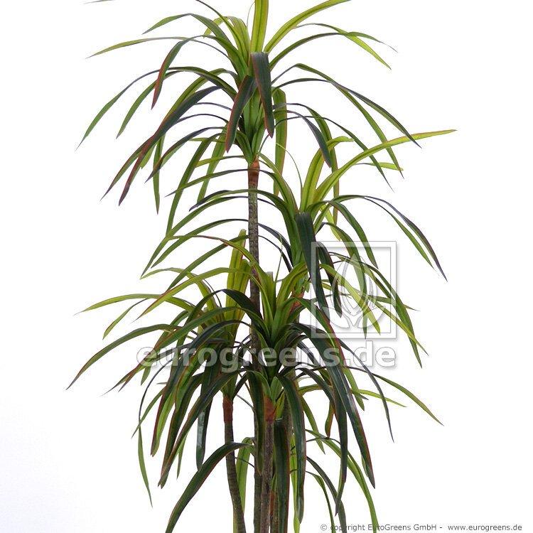 Umelá rastlina Dracéna lemovaná 155 cm