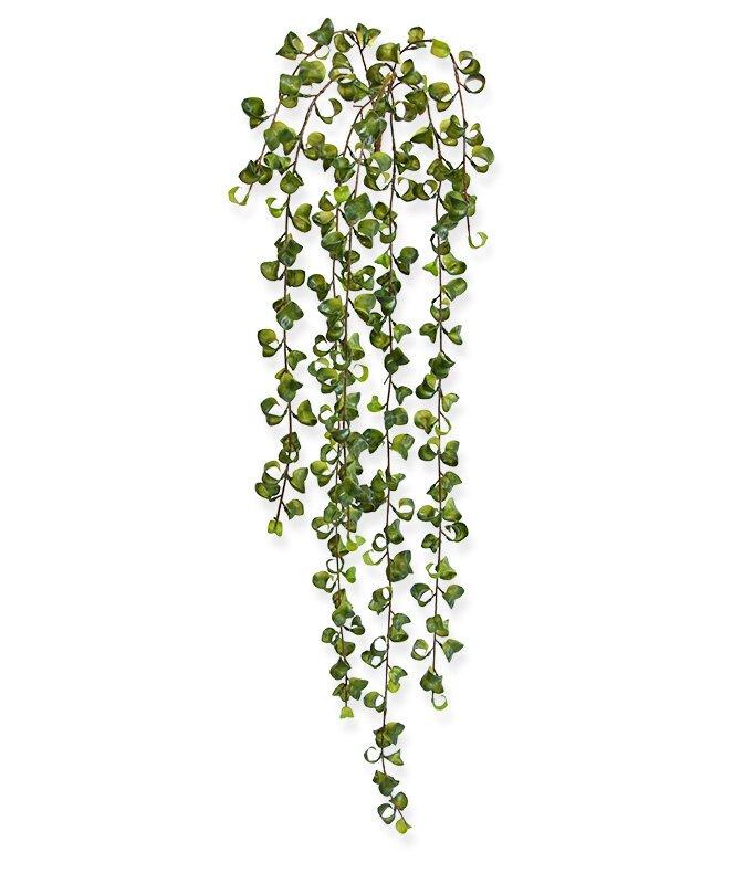 Popínavá rastlina Peperomia Prostrata 80 cm