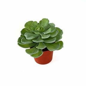 Umelá rastlina Eševéria 16 cm
