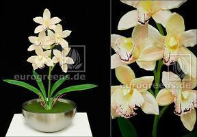 Umelá rastlina Orchidea Cymbidium smotanová 50 cm