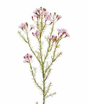 Umelá vetva Chamelaucium uncinatum ružová 65 cm