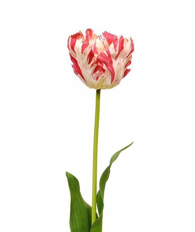 Umelý kvet Tulipán červeno-biely 70 cm